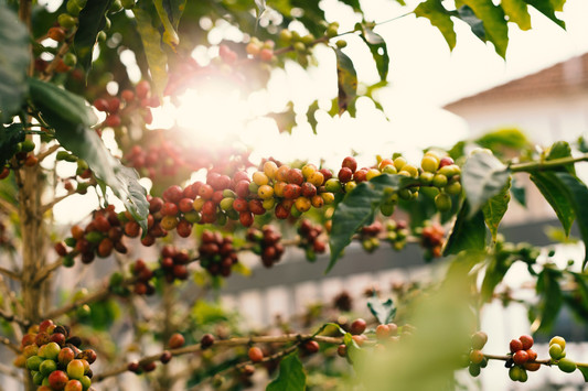 red-and-yellow-coffee-berries-on-branch-