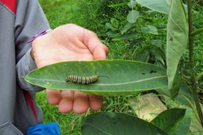 Monarch caterpillar at Fresh Meadows