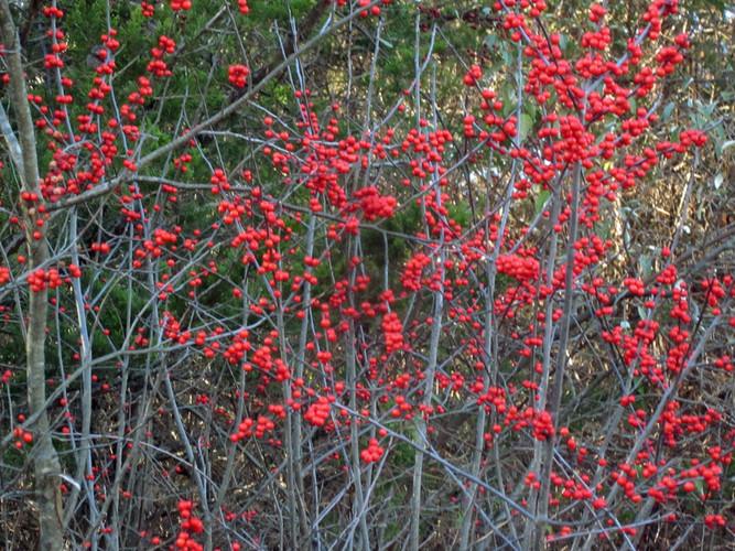 Fresh Meadows Winterberry