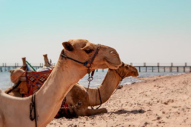 camel-4029704_1920.jpg