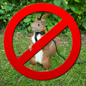 Why are squirrels bad pets?
