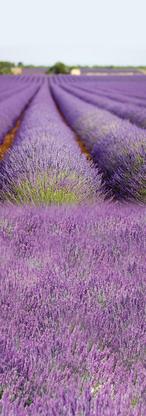 Lavande- violet.png