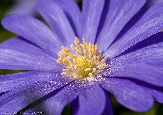 anemone blanda white.jpg