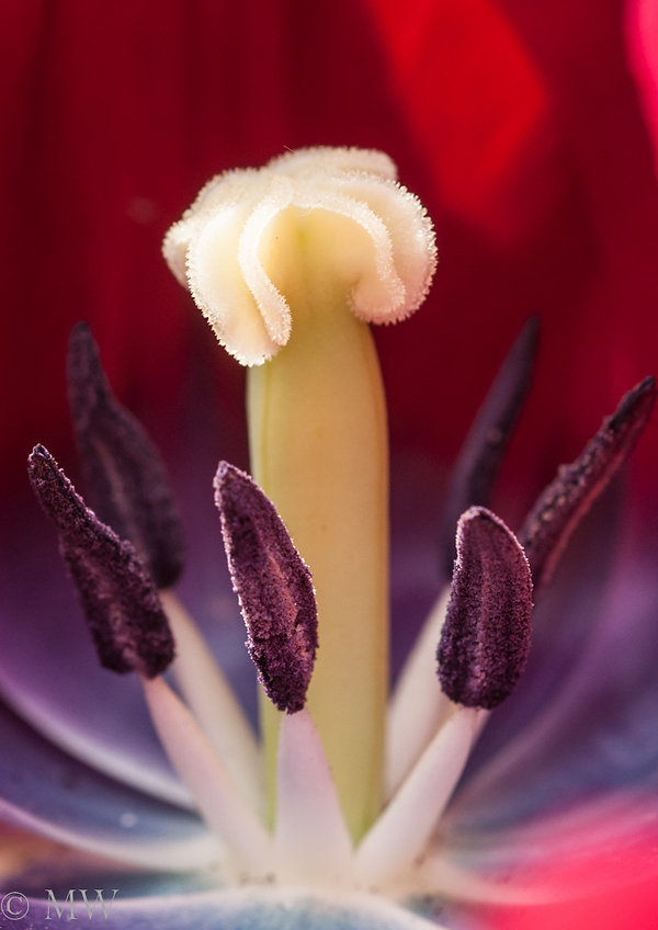 tulip close up.jpg