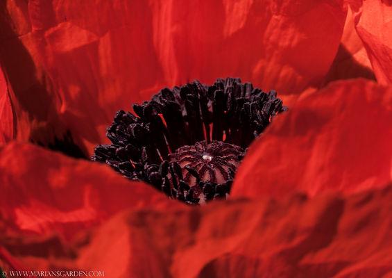 poppy full.jpg
