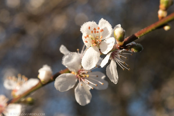 prunus with frost.jpg