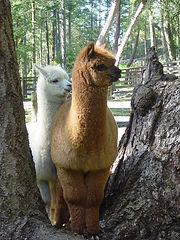 Woodgrove Animal Hospital Alpaca Arbutus Ridge Alpacas