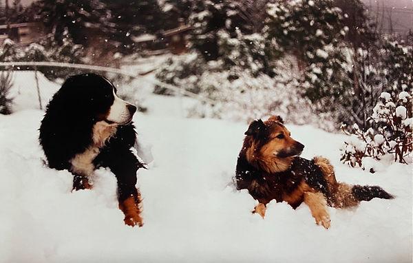 Bernese Mountain Dog Shepherd Collie Cross.jpg