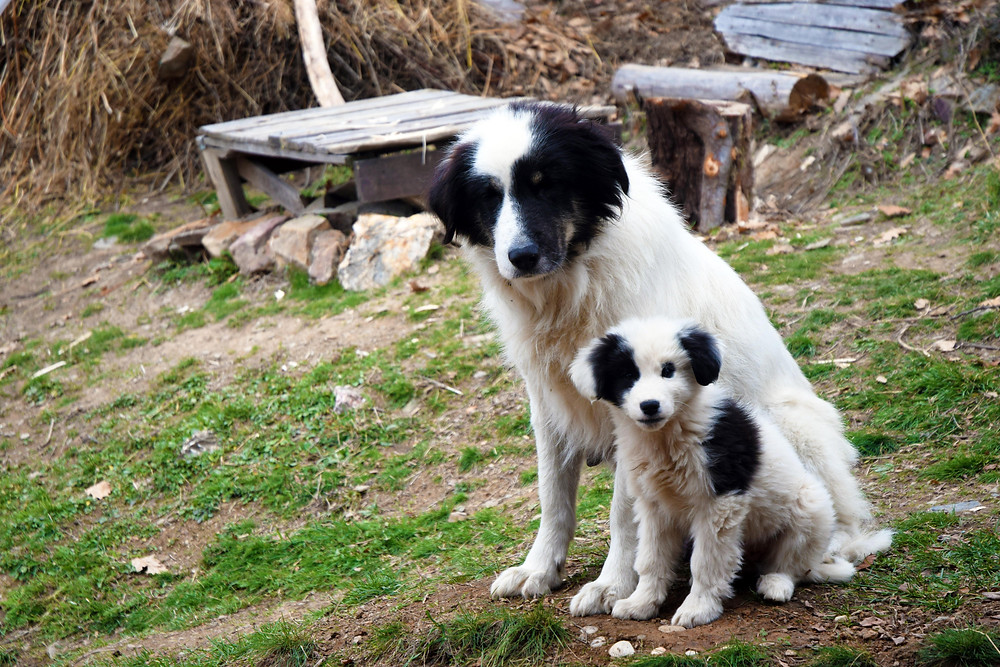 Babička s vnukem. Ne každé štěně pasteveckého plemene je vhodné k výchově v pasteveckého psa. Malý Pandu byl učiněný strašpytel. (Bulharsko)