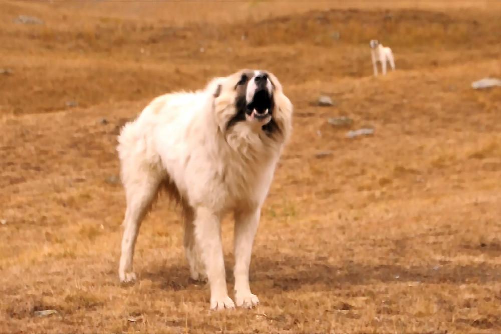 Tito psi pouze zastrašují. Ideální je obejít je obloukem a neprovokovat rychlými pohyby ani hlasitými projevy.