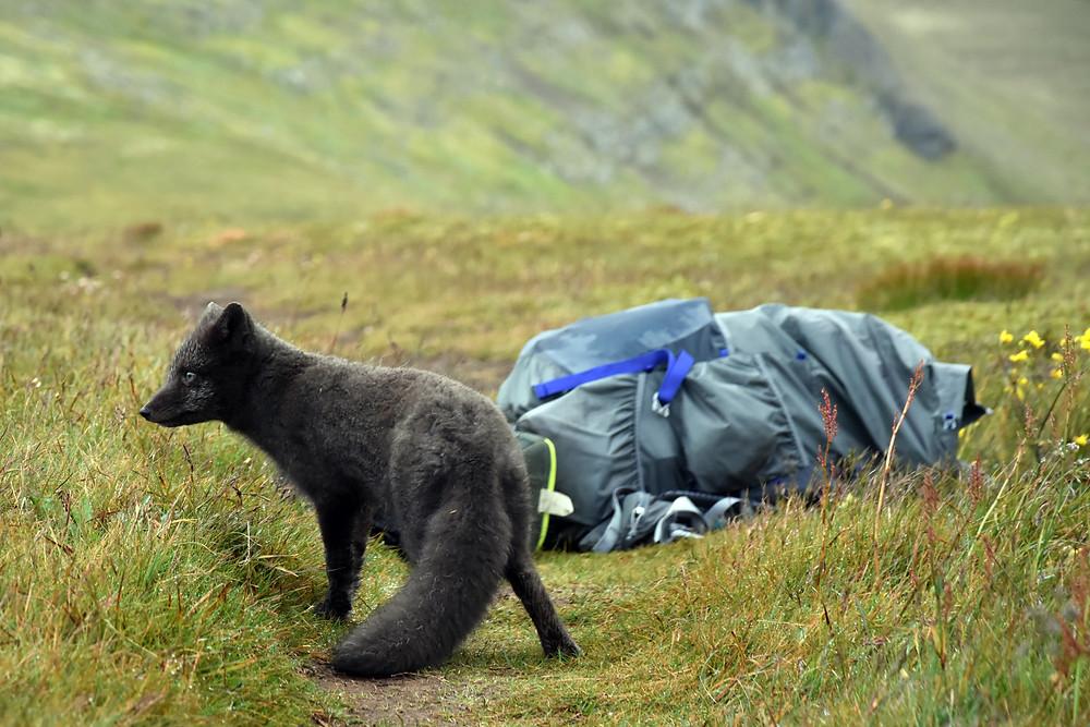 Mariposa zaujala i polární lišku na islandském poloostrově Hornstradir.