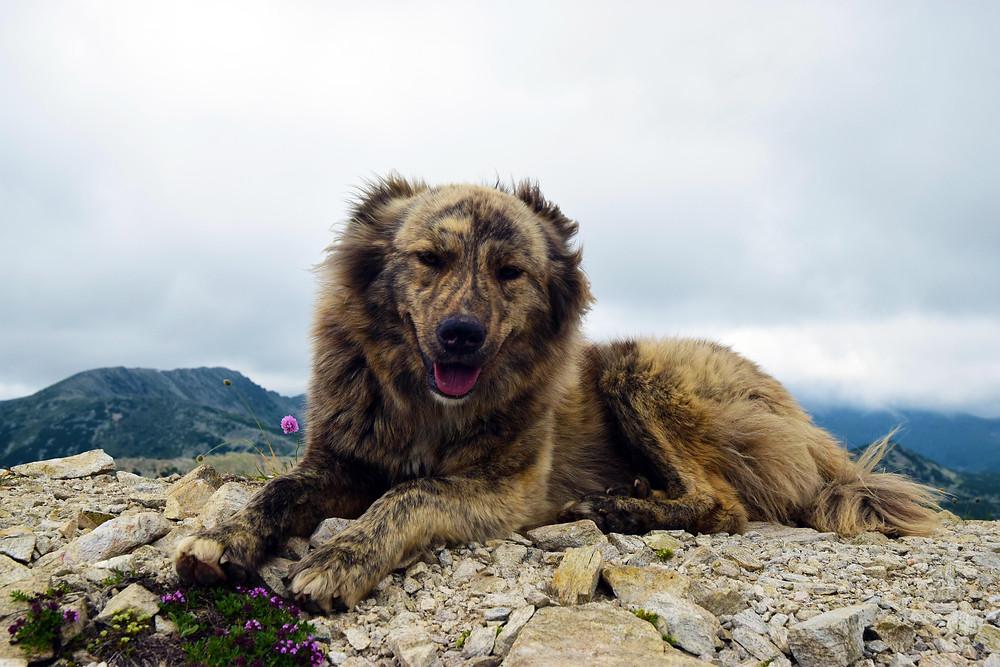 V turisticky hojně navštěvovaných oblastech bývají pastevečtí psi na lidi zvyklí. (Bulharsko)