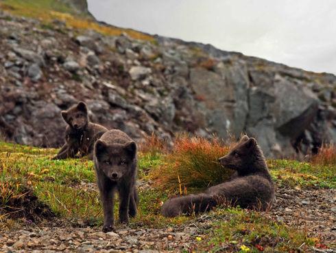 Island - poloostrov Hornstrandir - polární liščata