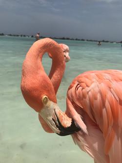 flamingo  Aruba