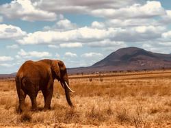 elephant tsavo west