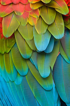 Costa Rican topical bird feathers