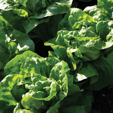 Adriana Butterhead Lettuce from Johnny's Select Seeds