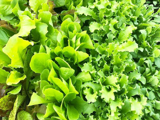 Choosing the Right Lettuce Varieties for Your Garden