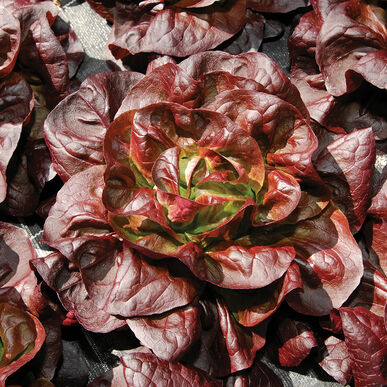 Teodore Butterhead Lettuce from Johnny's Select Seeds