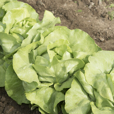 Mirlo Butterhead Lettuce from Johnny's Select Seeds