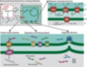 endosymybiosis and plastids