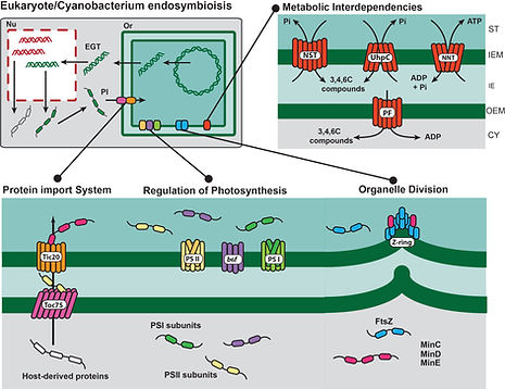 endosymybiosis and plastids