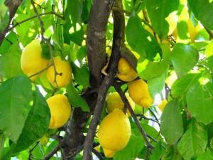 La apertura del mercado de limones de los Estados Unidos