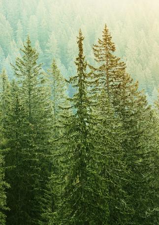 green-coniferous-forest-lit-by-sunlight