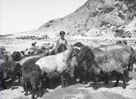 Iran: Studying sheep . . .