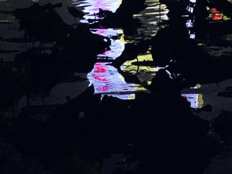 夜荷。The Night Lotus.