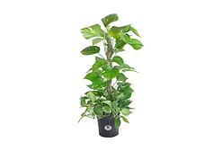 upload golden pothos plant.png