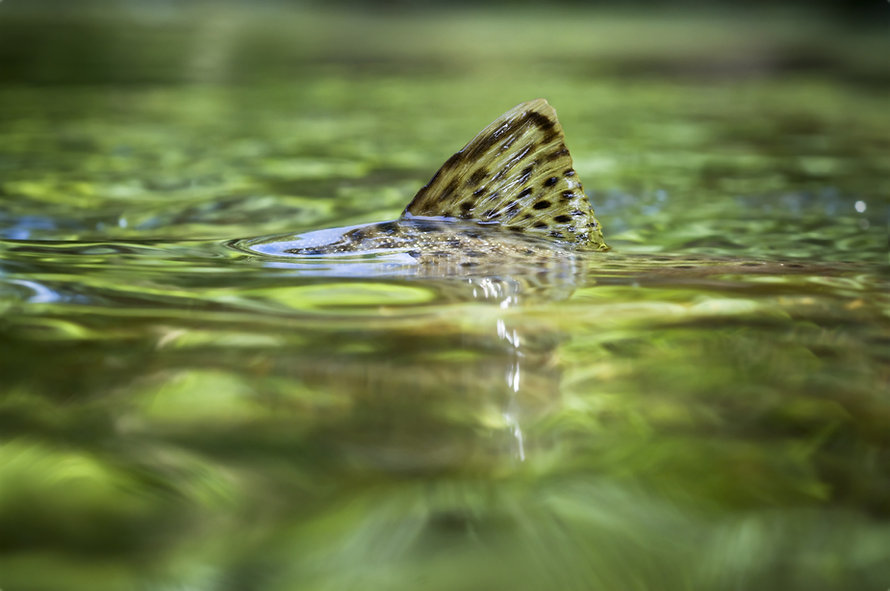 Brown trout fin surfacing in a crystal c