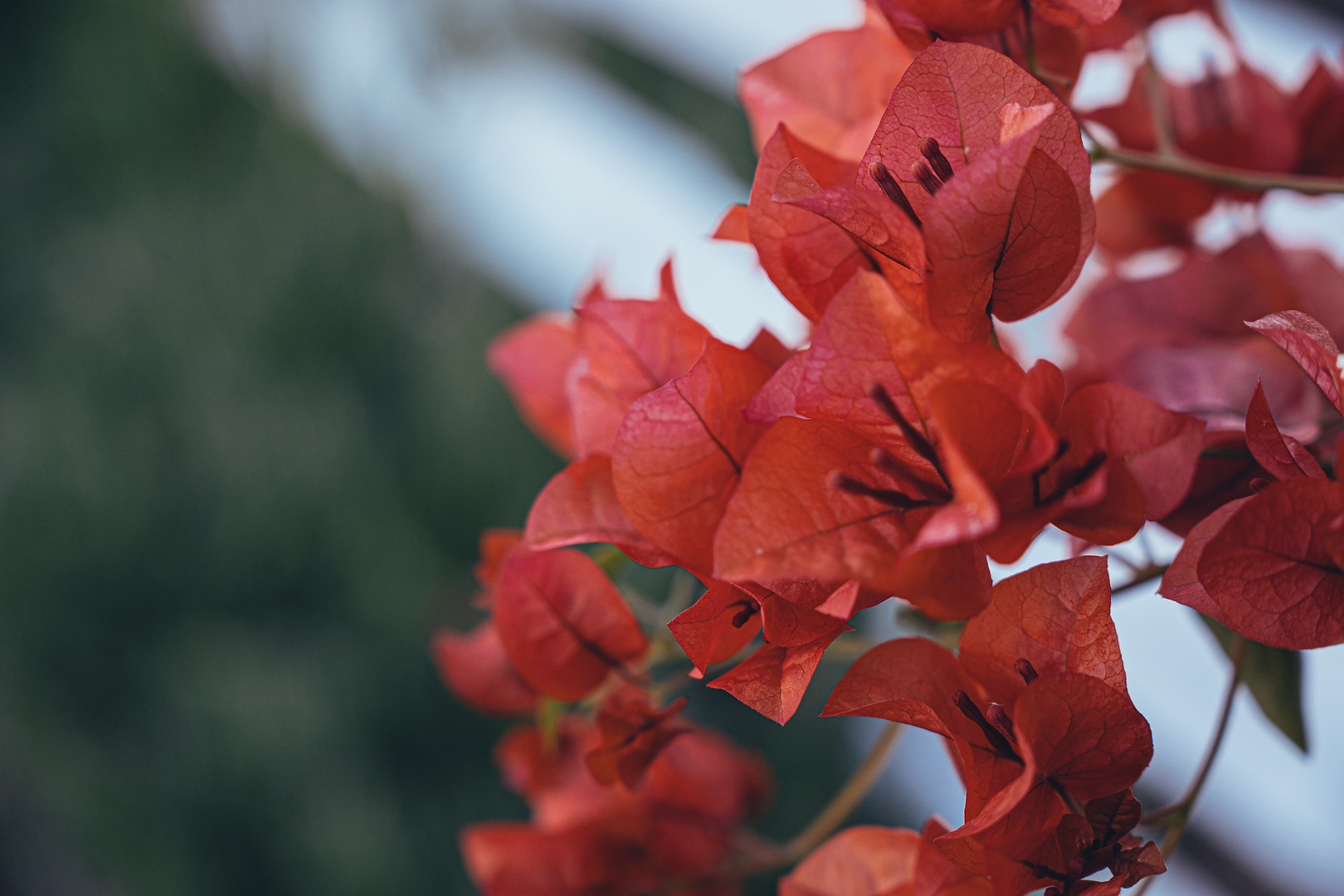 Pale Red Flowers