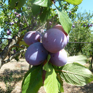 Plums in our land