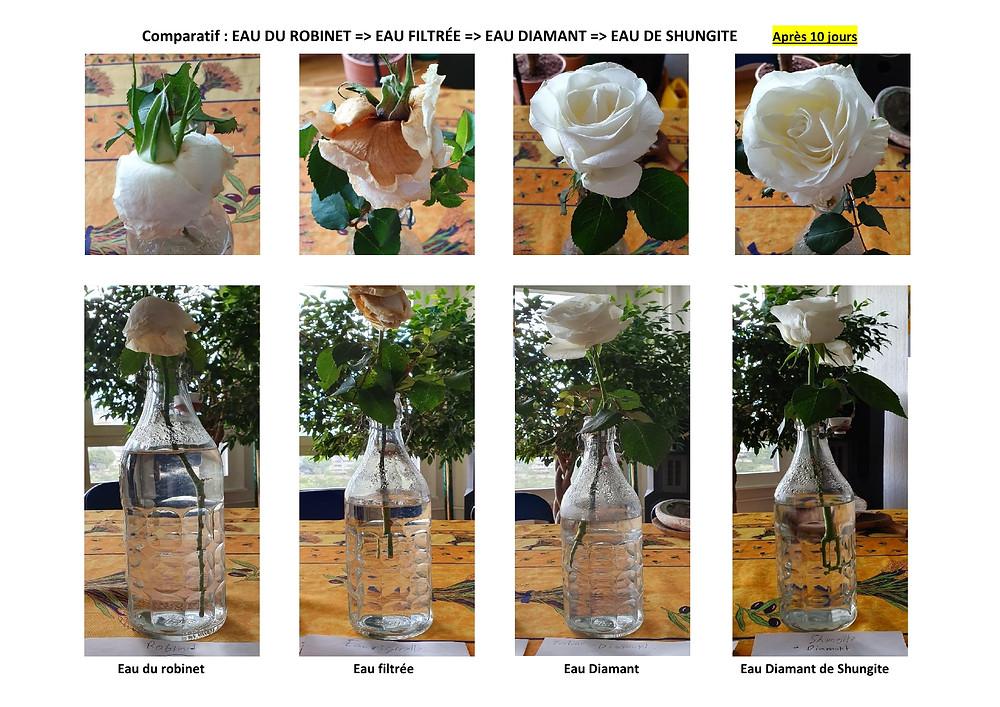 Comparatif eau du robinet vs eau dynamisée après 10 jours