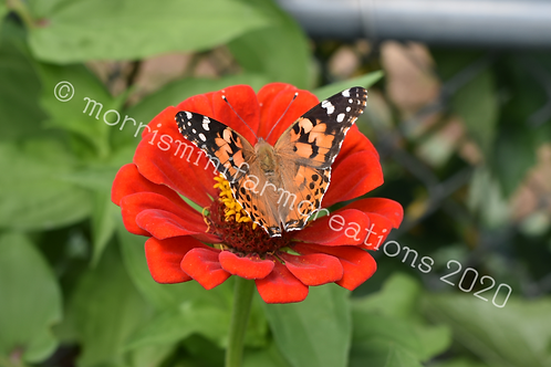 Painted Lady Butterfly on a Zinnia