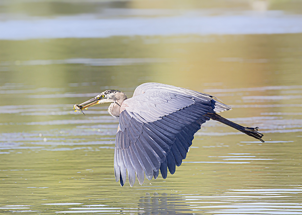 Heron in Flight with Fish