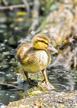 Mallard Duckling on Limb