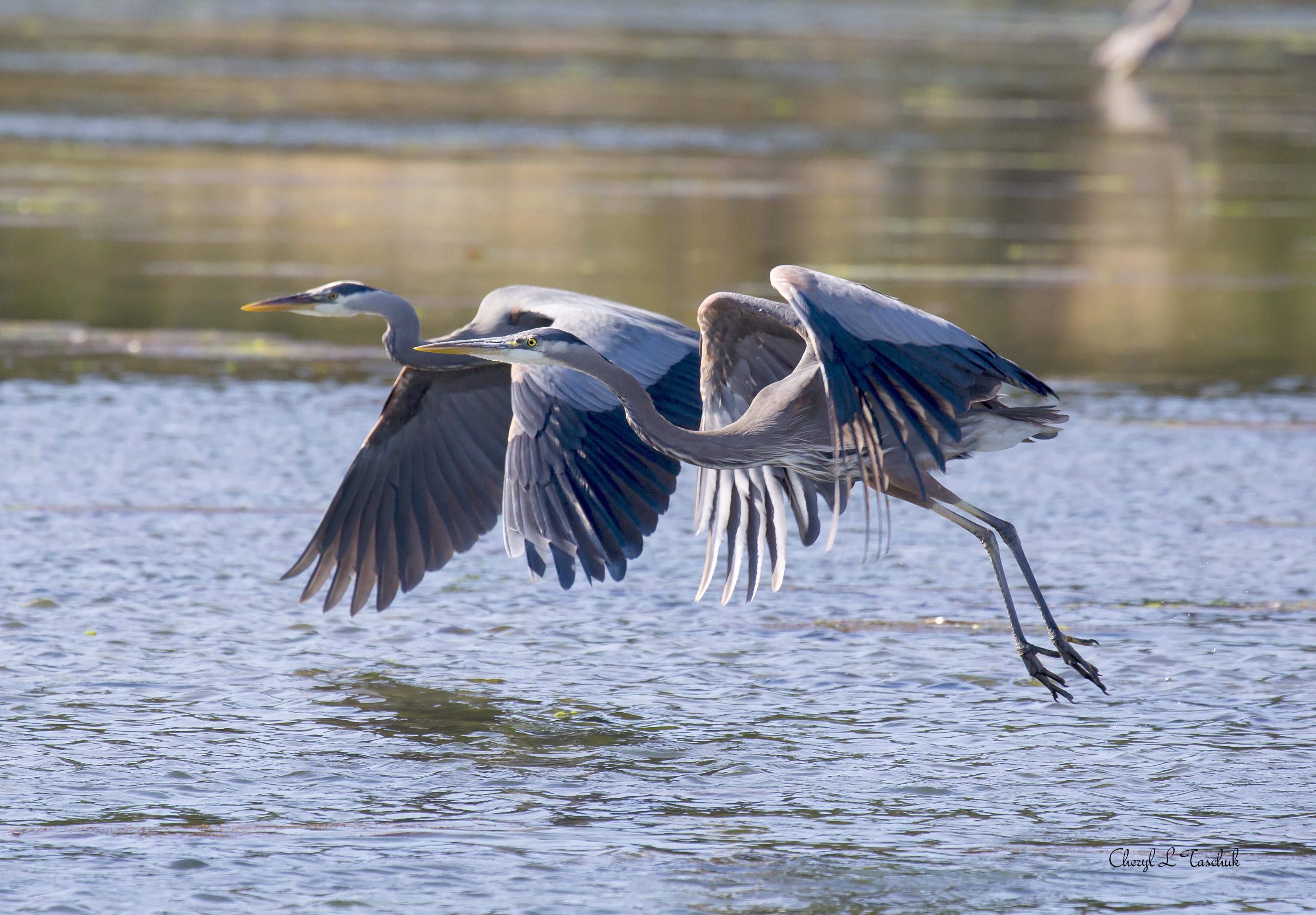 Herons, Pair Flying 2