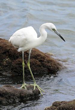 BI-Egret on Rock-Web 622