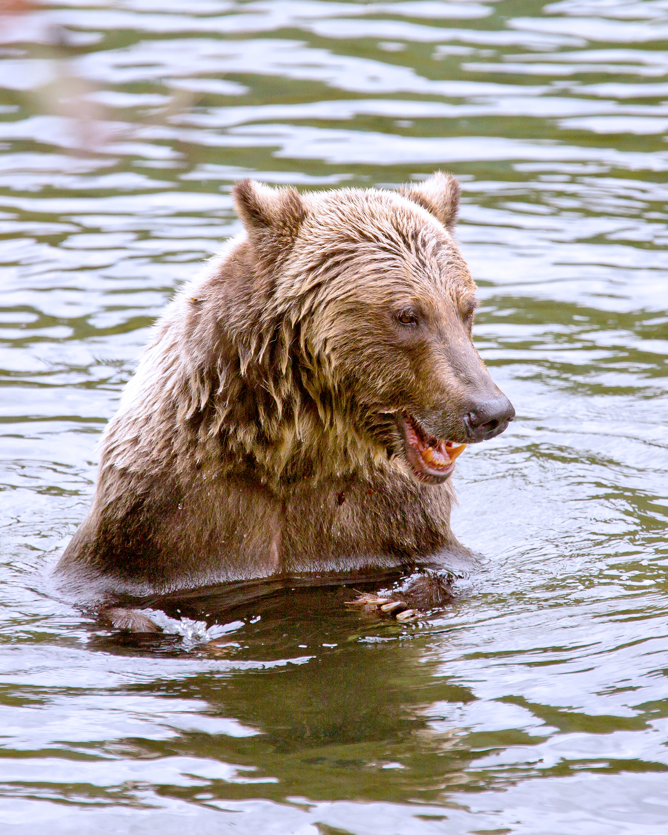 Grizzly Laughing