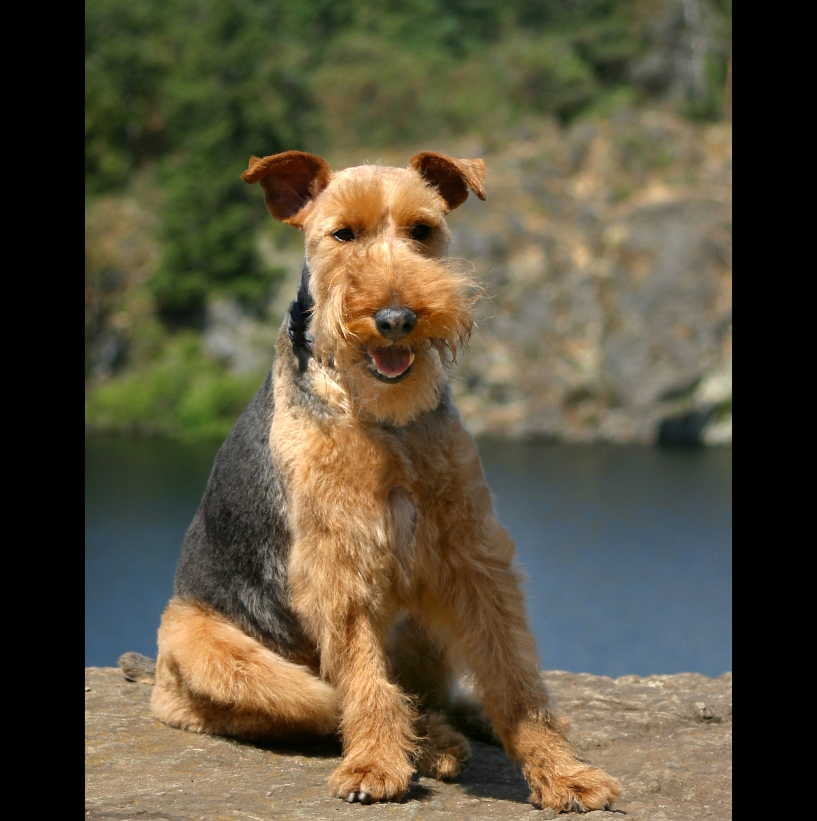Welsh Terrier on Rock