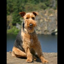 Welsh Terrier on Rock