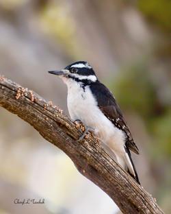 Hairy Woodpecker n Tree