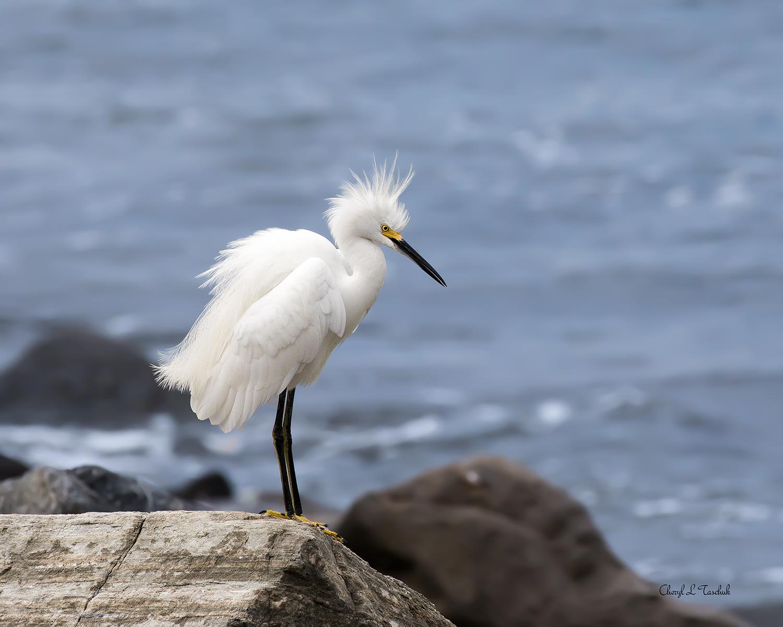 Egret on Rock