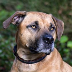 Staffordshire Terrier Cross