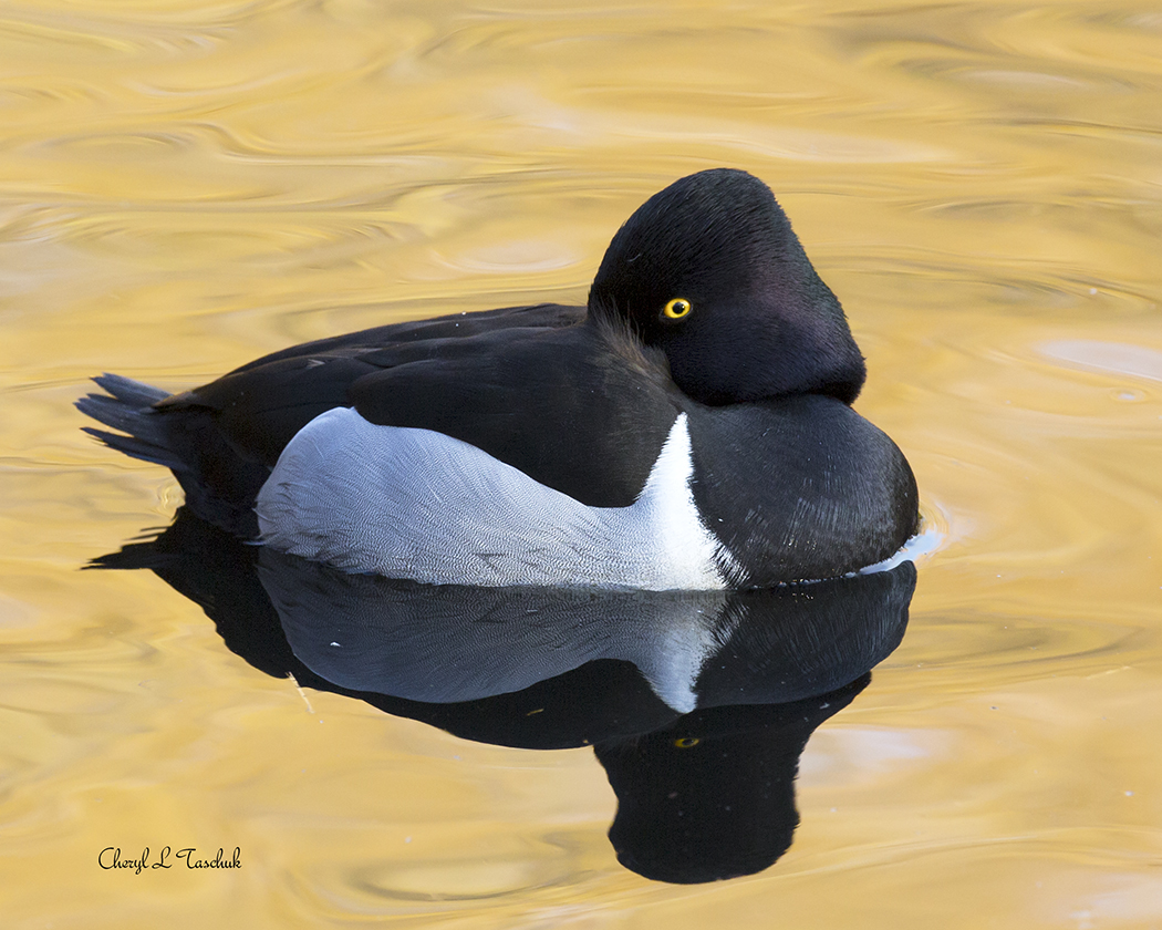 Ring Necked Duck Swimming 2
