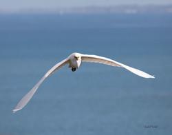 Egret in Flight 0861