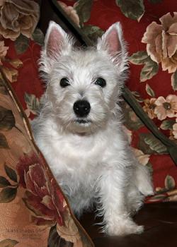 PP-West Highland Terrier-Web 018.jpg