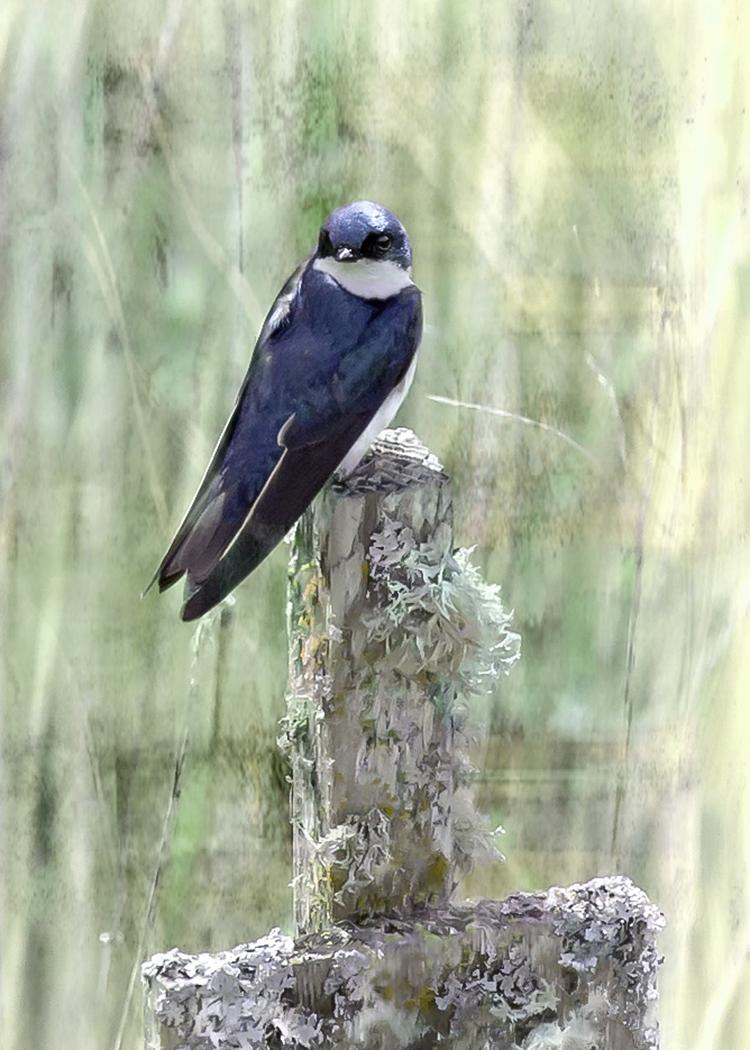 Tree Swallow on Post w/ Art Effect